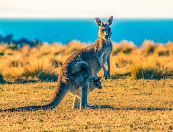 Cestopis Tasmánie - Maria Island